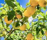 How To Care For Your Citrus Plants