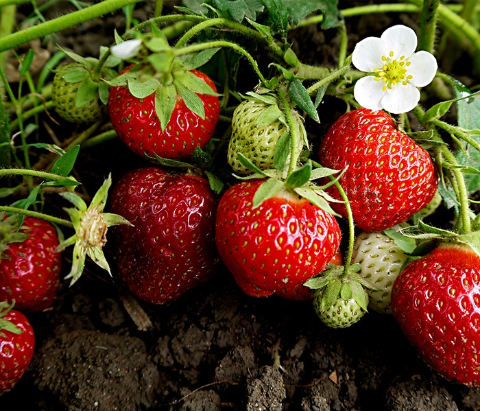 how-to-grow-strawberries
