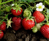Our secret tips to sweet, home-grown strawberries